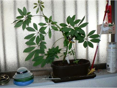 100円ショップで買った植物が・・・